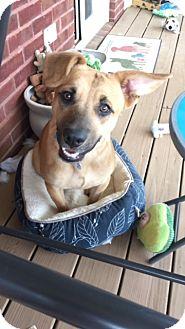 Labrador Retriever Mix Dog for adoption in Marietta, Georgia - Anakin