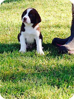 Border Collie/Labrador Retriever Mix Puppy for adoption in Groton, Massachusetts - Henry