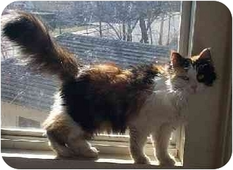 Domestic Longhair Cat for adoption in Naugatuck, Connecticut - Nellie