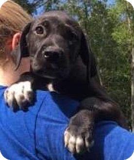 Labrador Retriever/Hound (Unknown Type) Mix Puppy for adoption in North Haven, Connecticut - Jackie