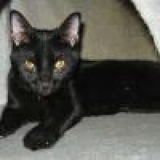 Domestic Shorthair Cat for adoption in Powell, Ohio - Nero