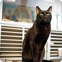 Domestic Shorthair Cat for adoption in Los Angeles, California - Marsellus