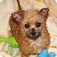 Adopt A Pet :: Cricket - Buena Park, CA