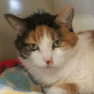 Domestic Shorthair Cat for adoption in Park City, Utah - Tako