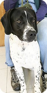 German Shorthaired Pointer Mix Dog for adoption in Hot Springs, Virginia - Gideon