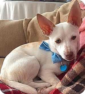 Chihuahua Puppy for adoption in Washington, D.C. - Rico (Has Application)