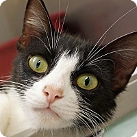 Adopt A Pet :: Cookie - Sprakers, NY