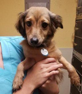 Dachshund Mix Dog for adoption in Tulsa, Oklahoma - Cherrie