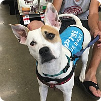 Adopt A Pet :: Paloma - Fort Collins, CO