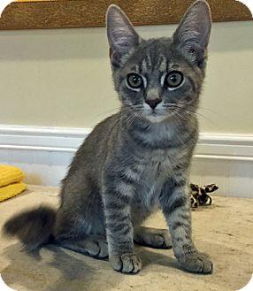 Domestic Shorthair Kitten for adoption in Prescott, Arizona - Quinn