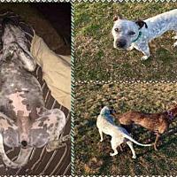 Pit Bull Terrier Mix Dog for adoption in Waco, Texas - TINA