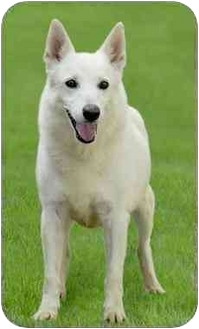 German Shepherd Dog Mix Dog for adoption in Marina del Rey, California - Sugar