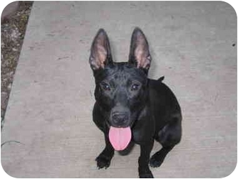 Manchester Terrier/Basenji Mix Puppy for adoption in New Melle, Missouri - Cleopatra