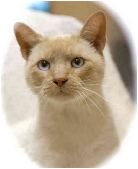 Siamese Cat for adoption in Howell, Michigan - Jack