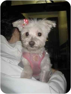 Maltese Dog for adoption in Long Beach, New York - Lucy