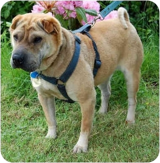 Shar Pei Mix Dog for adoption in Sacramento, California - Mollie URGENT