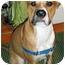 Photo 4 - American Pit Bull Terrier Mix Dog for adoption in Framingham, Massachusetts - Chico