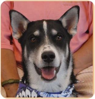 Siberian Husky Mix Puppy for adoption in Las Vegas, Nevada - Hinto