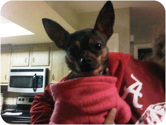 Chihuahua Mix Dog for adoption in Knoxville, Tennessee - Tini
