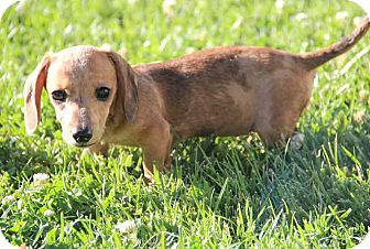 Dachshund Mix Puppy for adoption in Yuba City, California - Macy