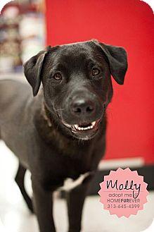 Labrador Retriever Dog for adoption in Detroit, Michigan - Molly-Adopted!