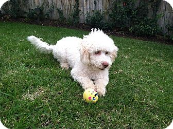 Bichon Frise/Poodle (Miniature) Mix Dog for adoption in San Diego, California - Noodles