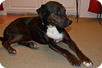 Hound (Unknown Type)/Labrador Retriever Mix Dog for adoption in Nashville, Tennessee - Murphy