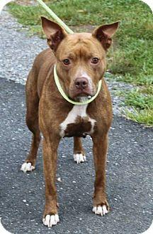 Pit Bull Terrier/Terrier (Unknown Type, Medium) Mix Dog for adoption in Staunton, Virginia - Lola