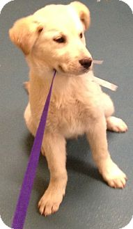 Golden Retriever/Husky Mix Puppy for adoption in CHAMPAIGN, Illinois - BARRON