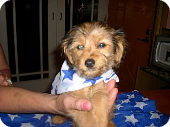 Yorkie, Yorkshire Terrier/Poodle (Toy or Tea Cup) Mix Puppy for adoption in Kittery, Maine - Maxwell