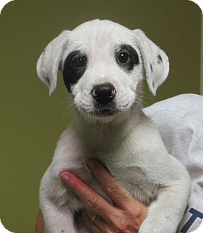 Dalmatian/Labrador Retriever Mix Puppy for adoption in Hagerstown, Maryland - Rayban