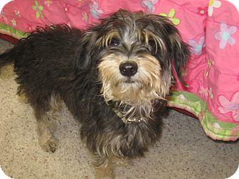 Schnauzer (Miniature) Mix Dog for adoption in Tumwater, Washington - Stella