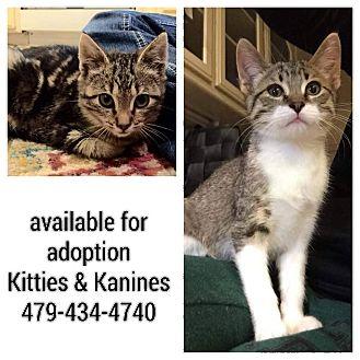 American Shorthair Kitten for adoption in Fort Smith, Arkansas - Kittens