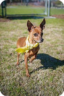 Chihuahua Mix Dog for adoption in Wilmington, North Carolina - Betsy