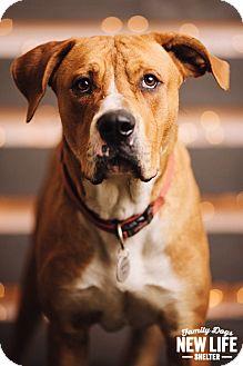 American Bulldog/Mastiff Mix Dog for adoption in Portland, Oregon - Trucker