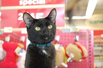 Domestic Shorthair Cat for adoption in Memphis, Tennessee - Samuel L. Catson