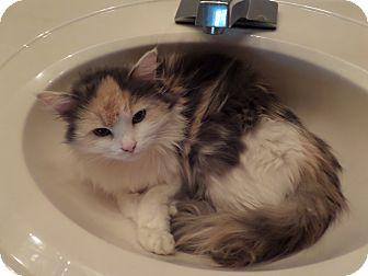 Domestic Longhair Kitten for adoption in Cincinnati, Ohio - Sadie Boo