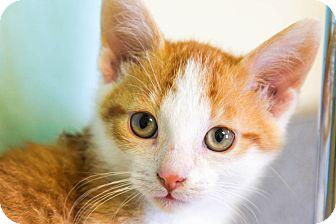 Domestic Shorthair Kitten for adoption in Larned, Kansas - Pop