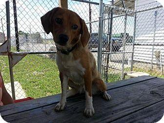 Beagle Mix Dog for adoption in Greenville, Kentucky - Sasha