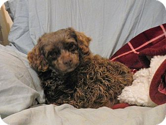 Poodle (Miniature) Mix Dog for adoption in North Wilkesboro, North Carolina - Ruby