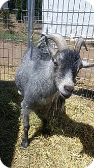 Goat for adoption in Sac, California - Jack
