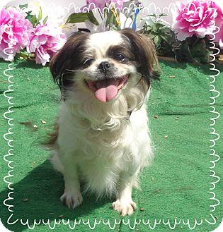 Pekingese Mix Dog for adoption in Marietta, Georgia - BINDI (R)