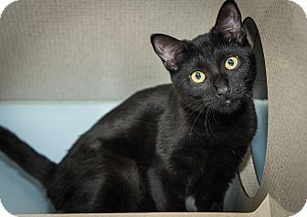 Domestic Shorthair Kitten for adoption in New York, New York - Camila