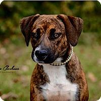 Adopt A Pet :: Brinley - ADOPTED! - Zanesville, OH
