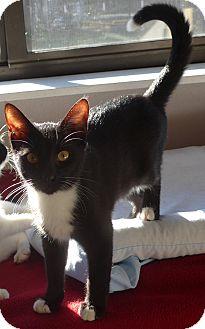 Domestic Shorthair Kitten for adoption in Manning, South Carolina - Apollo