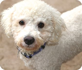 Bichon Frise/Poodle (Miniature) Mix Dog for adoption in Norwalk, Connecticut - Coventry