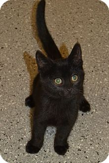 Domestic Shorthair Kitten for adoption in Michigan City, Indiana - Tomato