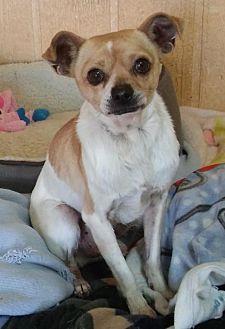 Chihuahua Mix Dog for adoption in Encino, California - Ruben