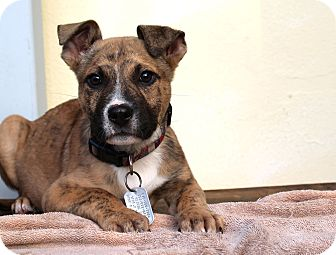 Boxer/Pit Bull Terrier Mix Puppy for adoption in Los Angeles, California - Derby