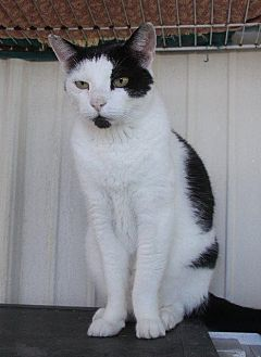 Domestic Shorthair Cat for adoption in New Bern, North Carolina - Chester Dean